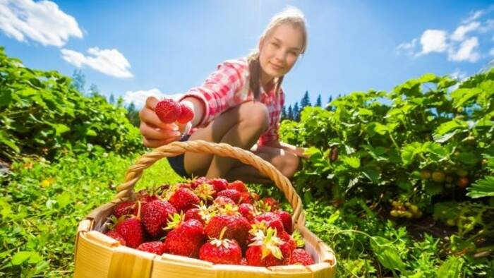 Where to eat strawberries in Microregion 11 PLUS and surroundings?-1