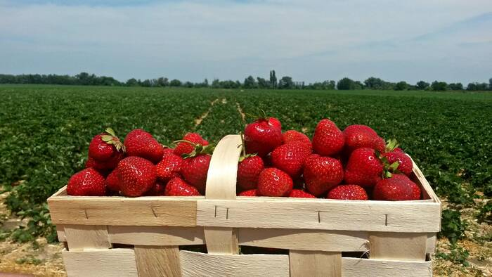 Where to eat strawberries in Microregion 11 PLUS and surroundings?-4